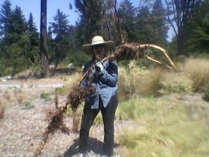 Rebecca Volunteering at the Arboretum - weeding bamboo root